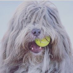 When you're shaggy and you know it clap your paws.  And be sure to use our Certified Organic Sudsy Wudsy Dog Shampoo.  ZERO chemicals synthetics parabens or sulfates.  Your dog will love it. { Cred:  @maijaliisav}
