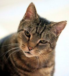 Homeless pets throughout New Jersey have lots of love to give and hope to be adopted.  PIPER is a 7-year-old female brown and black tabby