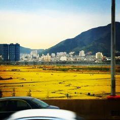 #부산에유채꽃피었습니다