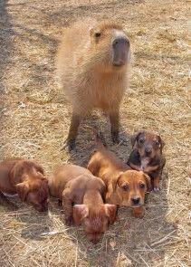 Resultado de imagen de Capybara friends