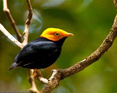 Golden-headed Manikin is a small passerine bird which breeds in tropical South America. It is found from Panama, Colombia and Trinidad south and east to the Guianas and Brazil and northern Peru. It is not found south of the Amazon or the Ucayali Rivers.