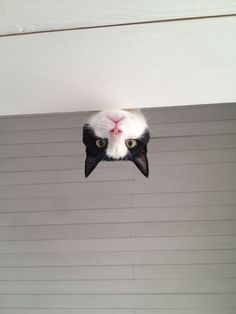 Photo of cat - photo is NOT upside down, kitty is peeking from floor above Devon Rex, Funny Cats, Funny Animals, Cute Animals, Crazy Cat Lady, Crazy Cats, Beautiful Cats, Animals Beautiful, Gatos Cats