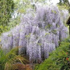 Shop online Wisteria sinensis and many other Flowers seeds. Chinese Wisteria, Wisteria Tree, Purple Wisteria, Wisteria Sinensis, Vine Trellis, Small Trees, Patio, Lawn And Garden, Gardens