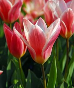 One of the earliest hybrid tulip to flower, Tulip 'Heart's Delight' naturalizes easily and is weather resistant. Blooming in early spring, the starry flowers are a real delight with their carmine red petals edged creamy-white on the outside, their pale pink interior and yellow heart