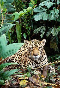 Jaguar - Amazon rainforest, Tambopata-Candamo National Reserve, Peru.