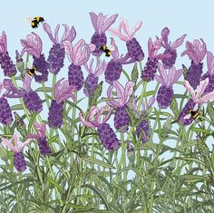 'French Lavender', by UK Artist Mig Wyeth. Published by Green Pebble. Bee Illustration, French Lavender, Botanical Drawings, Pictures To Draw, Christmas Art, Disney Art, Art Images, Flower Art, Street Art