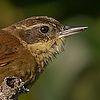 Foto barranqueiro-de-roraima (Syndactyla roraimae) por Ester Ramirez