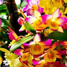 Orchideengarten Karge in Dahlenburg www.Orchideengarten.de Dendrobium nobile Meine Hebammen