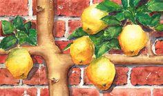 Lemon Espalier - watercolour