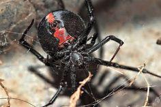 Zwarte weduwe of roodrugspin kent geen romantiek in de liefde, zij eet hem op.