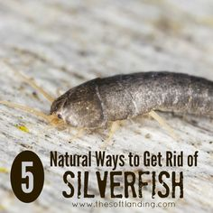 I'll admit that silverfish aren't exactly the most dangerous little buggers in the world, but I just hate being surprised by them! Here are some natural DIY ways to get rid of them easily.
