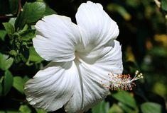 white hibiscus flower Hibiscus Plant, White Hibiscus, Hibiscus Flowers, Sugar Flowers, Tropical Flowers, Green Flowers, Types Of White Flowers, Buy Plants Online, Moon Garden