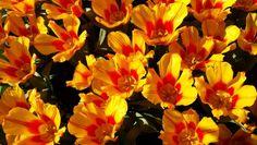 Yellow with orange heart tulips