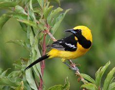 Hooded Oriole - Backyard - BirdWatching Daily - BirdWatching Community