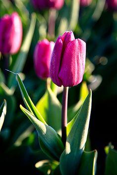 de bolvelden fotograferenClose-up van een tulp, de ochtenddauw geeft een twinkelend effect op de bloem