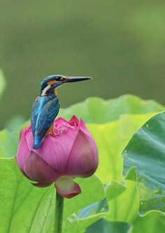 Kingfisher on a lotus blossom