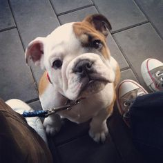 #dogs #Englishbulldog