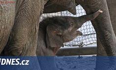 Sloní kluk Chandru v ZOO Ostrava se má k světu. Už ho uvidí i návštěvníci