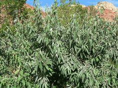 Elaeagnus angustifolia Oleaster