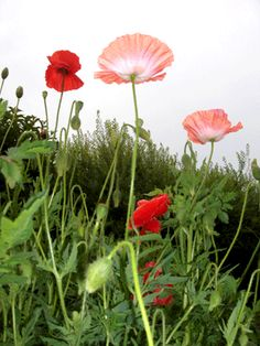 Poppies in my garden. Photo: Sprakfåle
