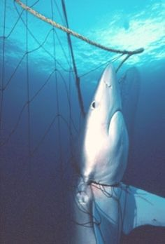 Many individuals of non-target species perish as by-catch in the cast of each drift net. As a result, many such species are now endangered. Species caught as by-catch include sharks, dolphins, whales, turtles, sea birds, and other marine mammals. Since nets are placed and may not be retrieved for days, air-breathing mammals that become tangled in the nets drown if they are unable to free themselves.