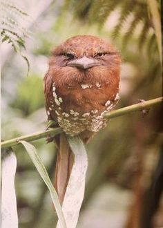 An angry-looking bird sitting up in a tree branch.