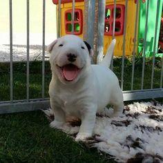 #Bull #Terrier little pup
