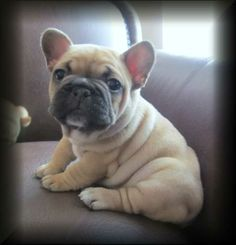 french bulldog puppies | French Bulldog Puppies For Sale Dog Breeds Info
