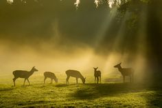 Deer in the Morning Mist - Deer grazing in the morning mist in Gosford Forest Park, Markethill, northern Ireland during the rutting season.