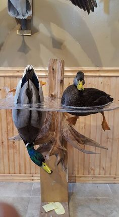Mallard Drake and Hen mount by Taxidermy by Josh Saville