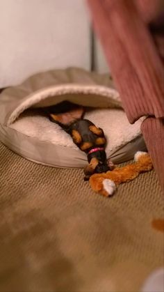 """""""Now this looks comfortable."""" #Doxie"""