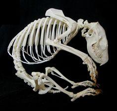 European Hedgehog Skeleton (Erinaceus)