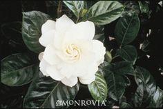 Gardenia jasminoides 'Aimee' - First Love Gardenia for moon garden
