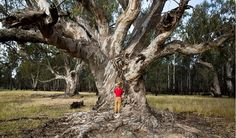 Barmah Millewa Forest river red gums - Australian Geographic