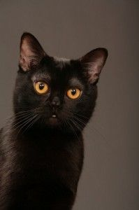 When one thinks of the Bombay cat, a sleek all black cat comes to mind. This cat breed got its name because of the resemblance to the Indian black leopard, and is named after the city of Bombay, India Crazy Cat Lady, Crazy Cats, I Love Cats, Cool Cats, Black Cat Breeds, Bombay Cat, Here Kitty Kitty, Kitty Cats, Beautiful Cats