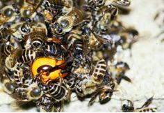 Brains of killer honeybees investigated