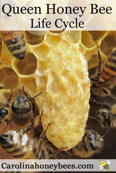 Queen Honey Bee Lifecycle