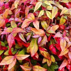 Options Evergreen Shrubs, Flowering Shrubs, Nandina Plant, Garden Beds, Garden Plants, Lemon Lime Nandina, Balinese Garden, Flamboyant, Small Outdoor Spaces