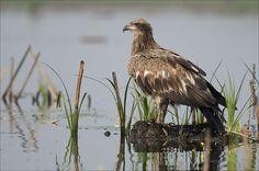 Pallas's Fish-eagle - Haliaeetus leucoryphus