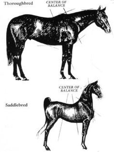 "How Horses are Built:  Many people ask me why only certain breeds have saddleseat riders.  well look at the photos!  ""saddleseat"" type horses are built VERY differently than the ""typical"" horse. they necks are much higher on their body, this is why they always have that HUGE crest in the hunter and western rings.   they are also built for they legs to move in a more ""up and down"" motion than a ""forward"" motion.  they center of gravity is in fact, in the center of their backs, no"