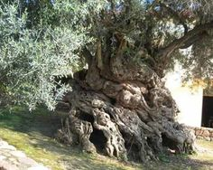 The Olive Tree of Vouves Crete. It is the oldest known olive tree on Earth, with a tree ring age of at least years. Carbon daters have estimated it to be about years old, and it still produces tasty olives today. It is 15 feet thick at the base. Photo Ciel, Unique Trees, Trees Beautiful, Old Trees, Nature Tree, Tree Forest, Tree Tree, Olive Tree, Tree Of Life
