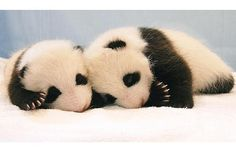 Giant Panda twin cubs, female Aihin, right, and male Meihin, left at the Chiang Mai Zoo in Northern Thailand Panda Love, Cute Panda, Cute Baby Animals, Funny Animals, Baby Pandas, Panda Babies, Animal Babies, Wild Animals, Small Animals