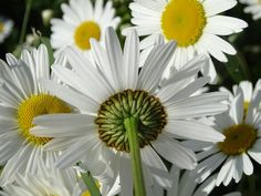 Oxeye Daisy (Leucanthemum vulgare) is wild, edible and nutritious food. Identify oxeye daisy via its pictures, habitat, height, flowers and leaves. Pictures Of Spring Flowers, All Flowers, Pretty Flowers, Daisy Flowers, Daisies, Flower Pictures, Beautiful Flower Names, Beautiful Places, Free Photos