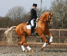 Treliver Decanter, a Hanoverian Sport Horse stallion. He is FANCY!