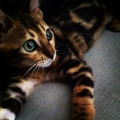 My Bengal Nala  Bengal, Cute Cats, Kitty, Puppies, Animals, Pretty Cats, Little Kitty, Flare, Cubs