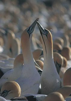 Gannets on the 5 Bay trail, Cape West Coast, South Africa.