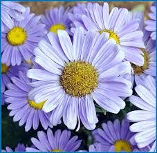 Image result for flowers daisies
