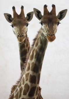 Twin giraffes