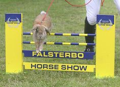 Hoppy Easter! Showjumping rabbits in action [VIDEO] - Horse & Hound http://www.horseandhound.co.uk/features/rabbit-show-jumping-videos-428062