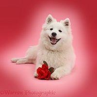 Bílý japonský špic pes s rudou růží růžové pozadí